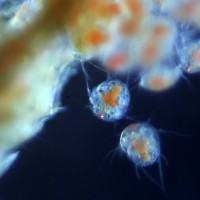 Copepods Hatching